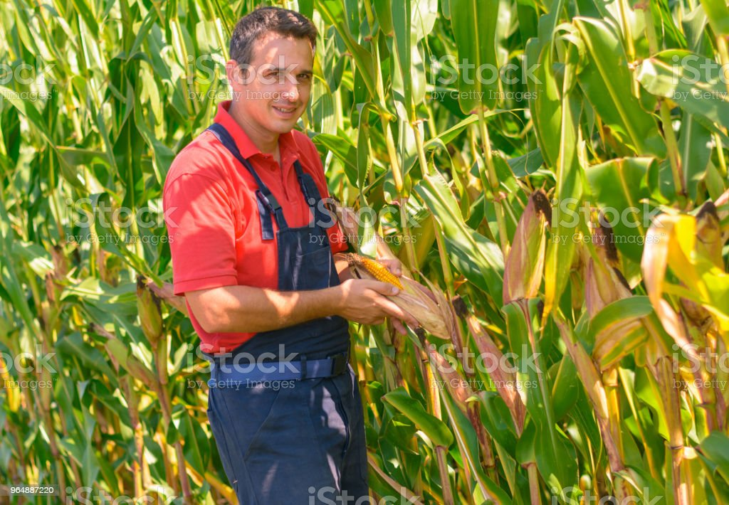 Farmer in the corn field, checking maturity of the corn. royalty-free stock photo