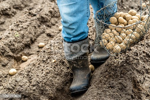 Farmer in the garden planting potato seeds into the soil, organic farming, seasonal work on field