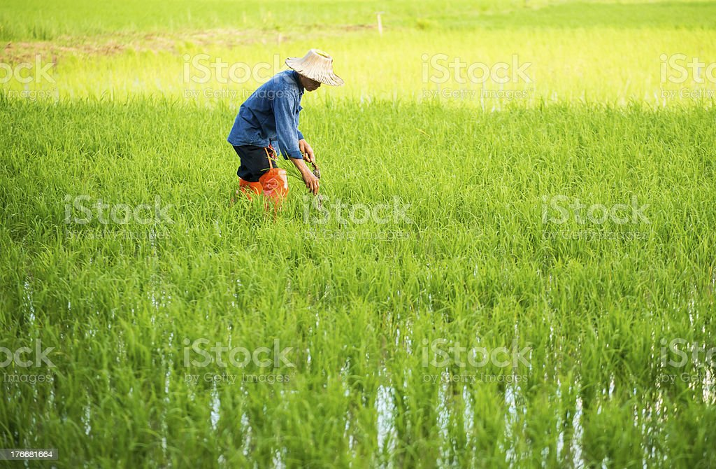 farmer in the rice field royalty-free stock photo
