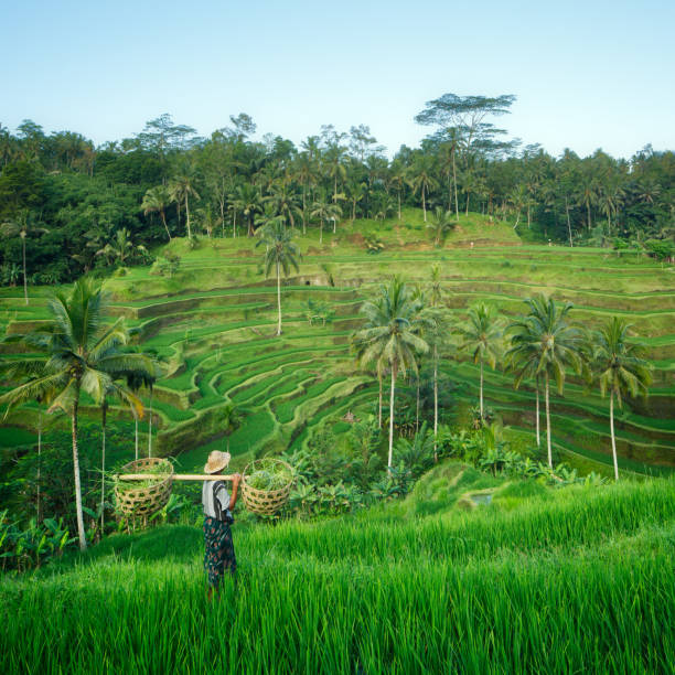 Farmer in the rice terraces of Bali, Indonesia Farmer in the rice terraces of Bali, Indonesia rice paddy stock pictures, royalty-free photos & images