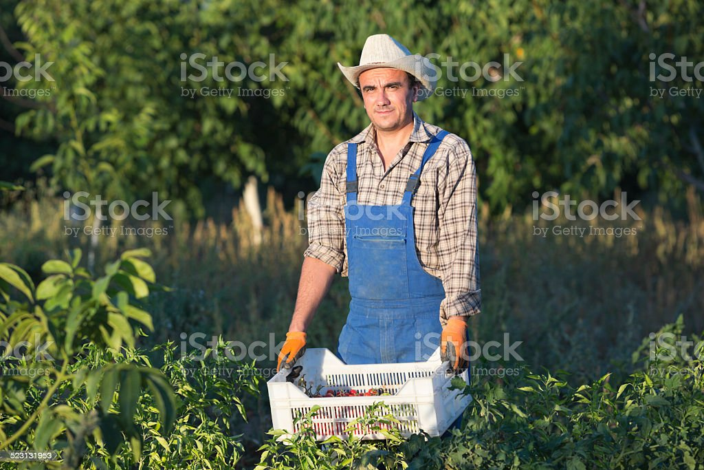 Farmer In Vegetable Garden stock photo