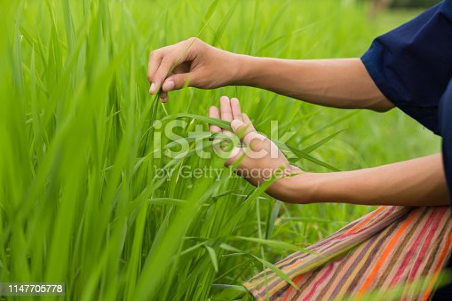 Asia farmer checking his crop, rice plant with touching leaves, inspect for diseases and pest at organic farm, hand touching leaves metaphor Sustainable development and Love environment concept.