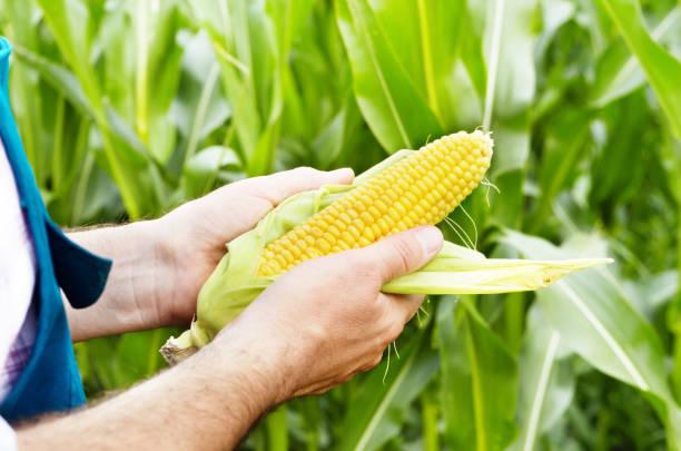 Mazorcas de maíz inspección de granjero - foto de stock