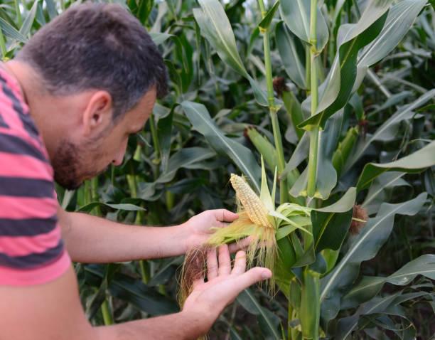 Landwirt inspiziert Mais – Foto