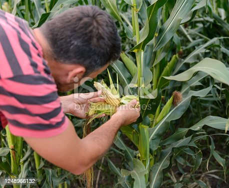 Man examines corn cob, men checks the yield
