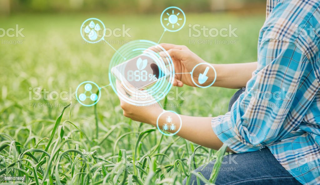 farmer inspecting garlic in agriculture stock photo