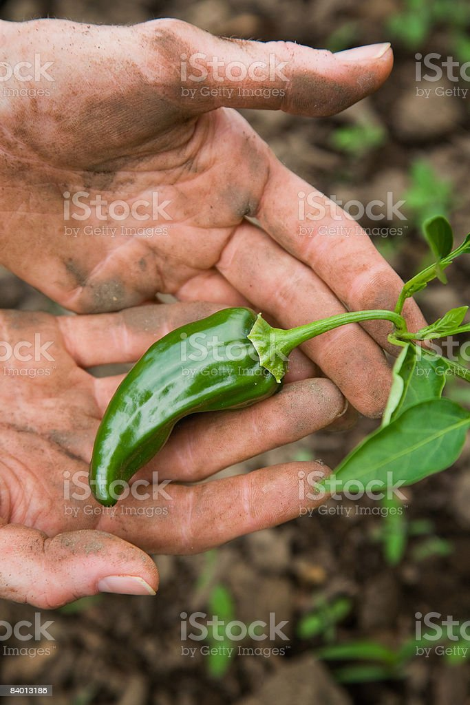 Farmer inspecting unripe hot pepper fruit royaltyfri bildbanksbilder