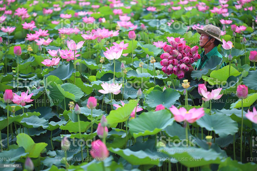 Farmer is collecting lotus flower stock photo