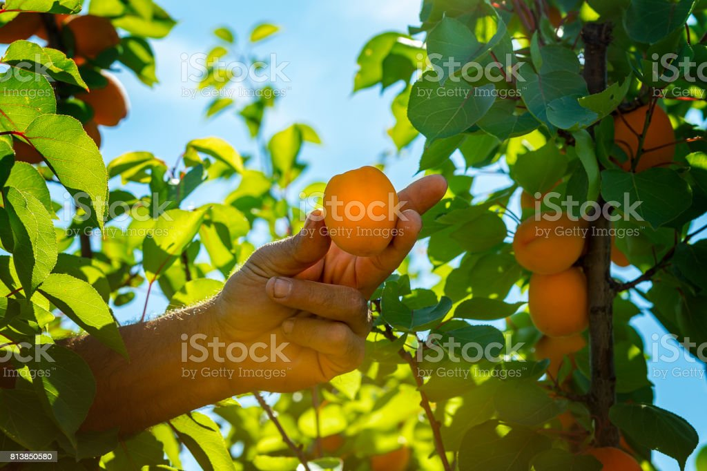 Bauer pflückt ein reifer Aprikose. – Foto