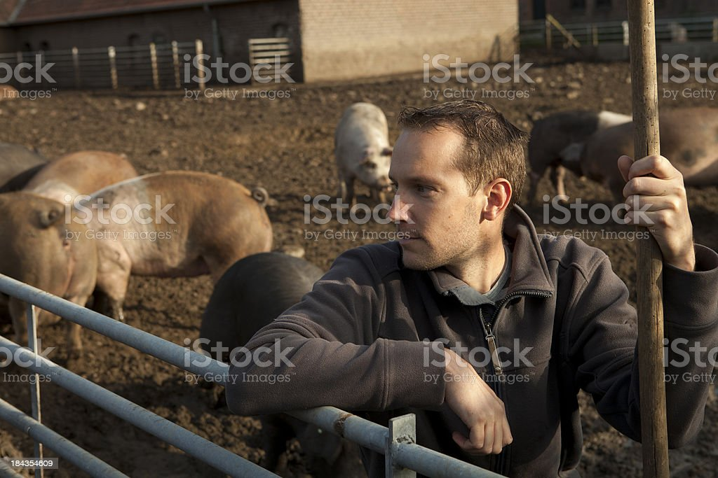 Farmer is working on a free range with pigs. royalty-free stock photo