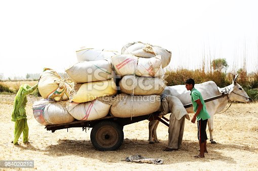 Rural farmers collecting husk in the field after wheat crop harvesting outdoor in the nature during summer season & loading it to the bull cart after collecting.