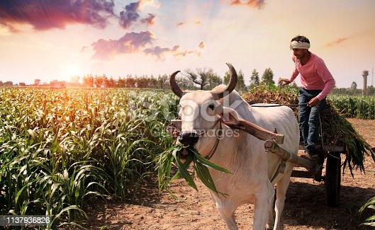 Farmer carrying sorghum crop bundle on the shoulder portrait outdoor.