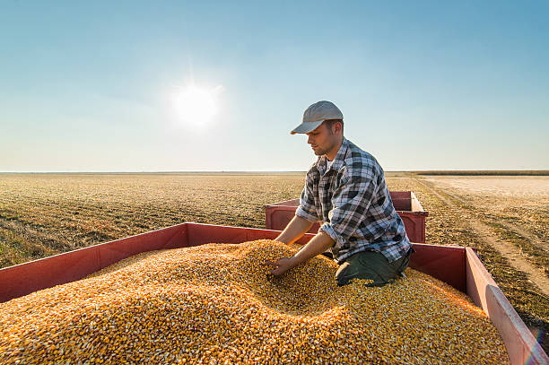 Farmer looking at corn grains in tractor trailer Young farmer looking at corn grains in tractor trailer after harvest monoculture stock pictures, royalty-free photos & images
