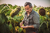 One senior farmer standing in the sunflower field, looking at sunflower seeds in his hand.