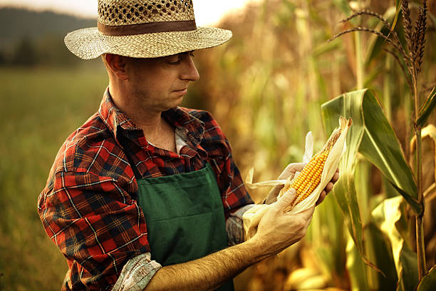 farmer looking his maize plant stock photo