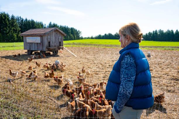 en bonde på en gård med ekologisk frigående småskaliga kyckling - frigående bildbanksfoton och bilder