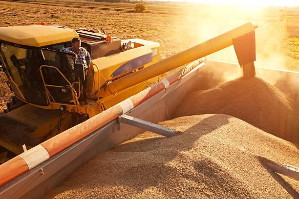 Farmer on combine harvester pours grain into a trailer. stock photo