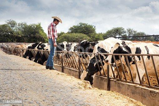 Granjero en granja de vacas en México