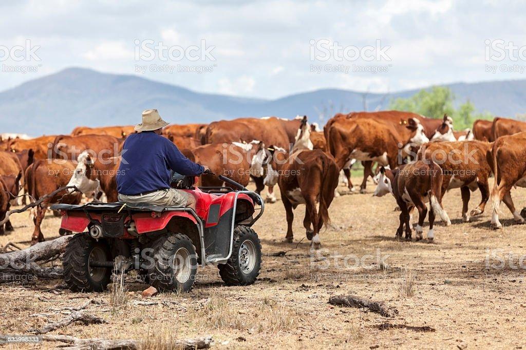 Farmer on quad bike mustering cattle stock photo