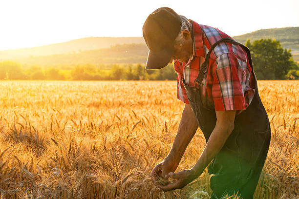 Farmer over looking the success of his crops Farmer over looking the success of his crops oat crop stock pictures, royalty-free photos & images