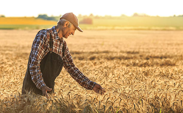 Farmer overlooking at new crops Mature farmer overlooking the success of his crops. Wears shirt, union suit and hat. Looking at field. On background sunbeam and gold colored field. oat crop stock pictures, royalty-free photos & images