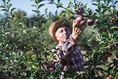 Farmer picking red apples in orchard at sunrise.