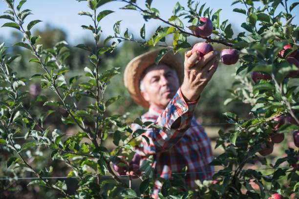 landwirt pflücken äpfel im obstgarten. - landwirtschaftlicher beruf stock-fotos und bilder