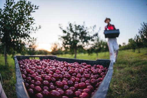 Farmer Picking Cherries