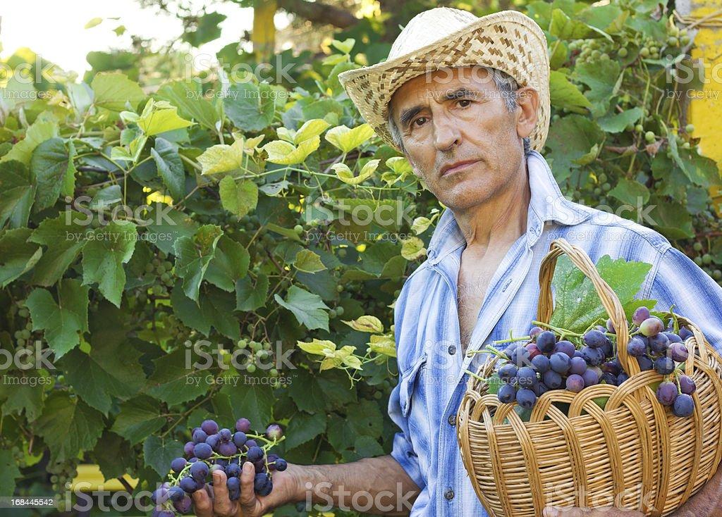 Farmer Picking grapes royalty-free stock photo
