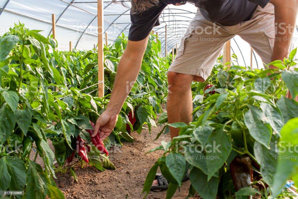 farmer picking homegrown pepper in polyethylene tunnel stock photo