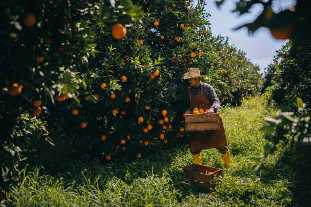Olgun portakal turuncu meyve bahçesinde hasat döneminde toplama çiftçi stok fotoğrafı
