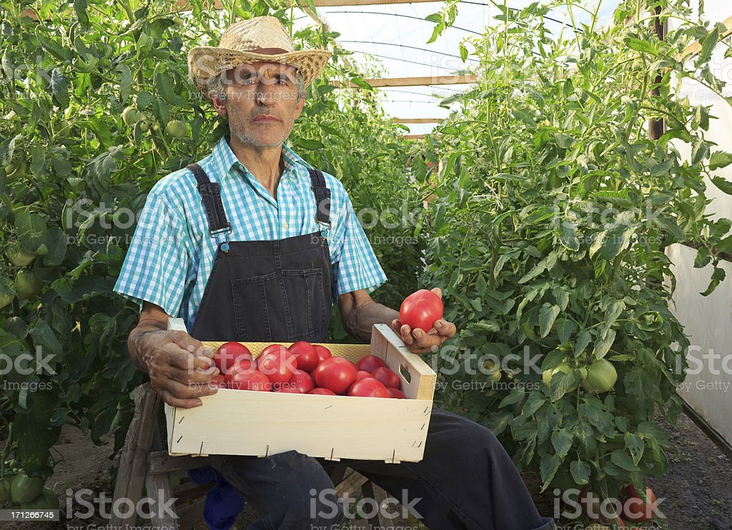 Farmer Picking Tomatoes royalty-free stock photo