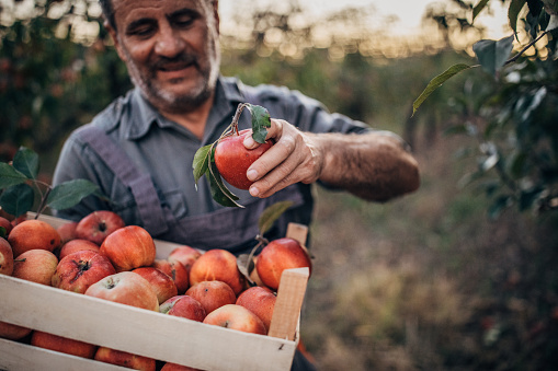 istock Farmer picking up apples in orchard 1190632451