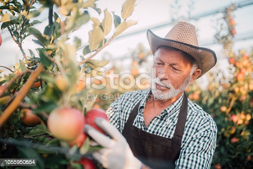 1056015258 istock photo Farmer picking up apples 1055950854
