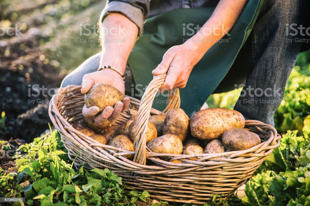 Agricultor a apanhar batatas - foto de acervo