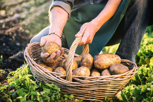 Farmer Picking Up Potatoes stock photo