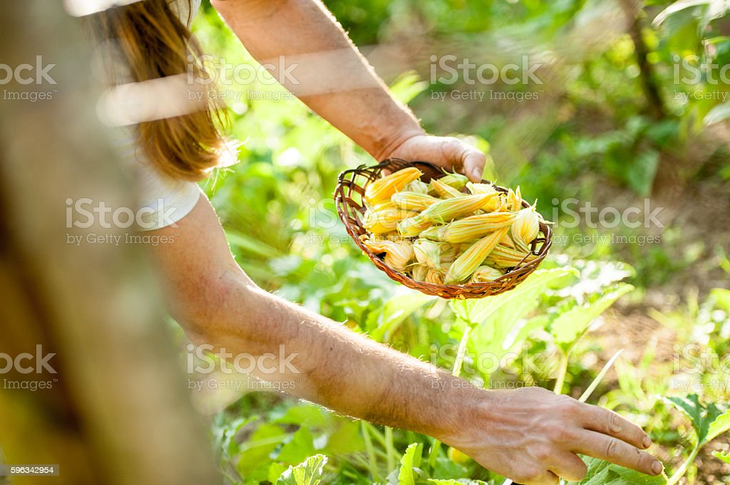 Farmer picking up Zucchini Flower Lizenzfreies stock-foto