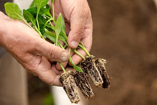 615599804 istock photo Farmer planting organic farming garden seedling. 1221066747