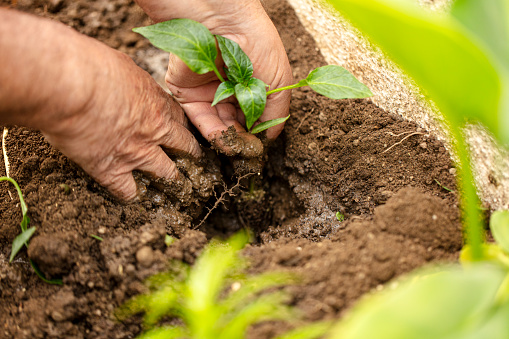615599804 istock photo Farmer planting organic farming garden seedling. 1221066748