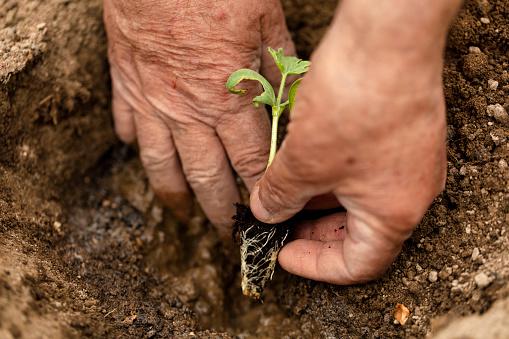 615599804 istock photo Farmer planting organic farming garden seedling. 1222306051