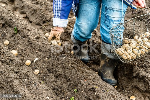 Farmer planting potato seedlings in the garden, organic farming concept