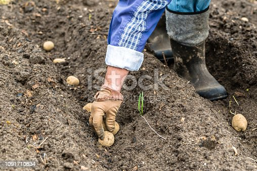 Farmer planting potatoes on field, organic farming concept