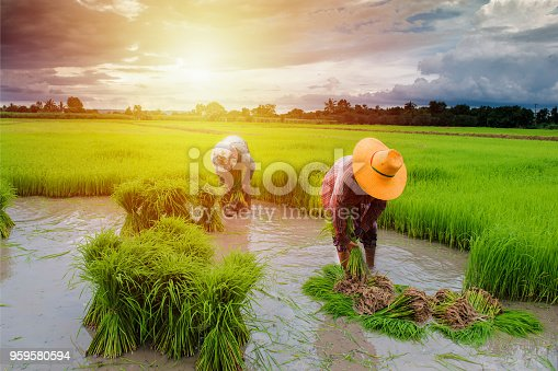 istock farmer planting rice in farm, Thai traditional plantation 959580594