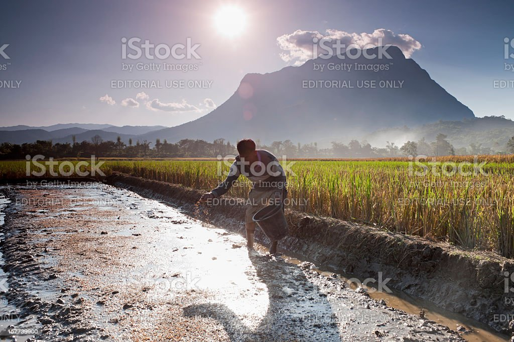 Farmer planting rice seeds. royalty-free stock photo