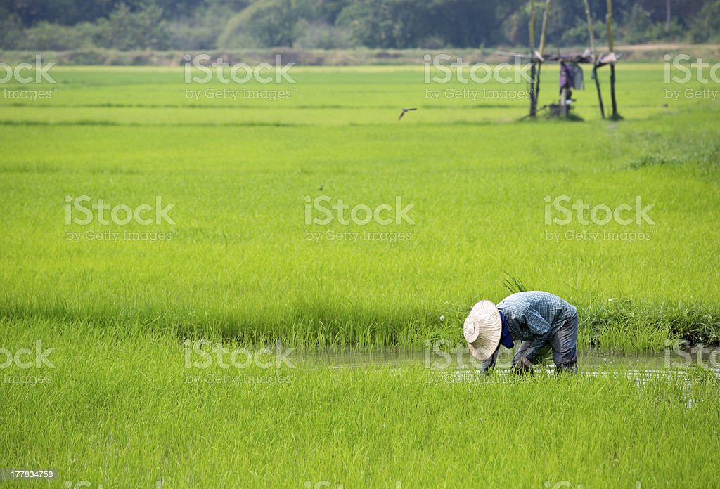 Farmer planting rice sprout in Thailand stock photo