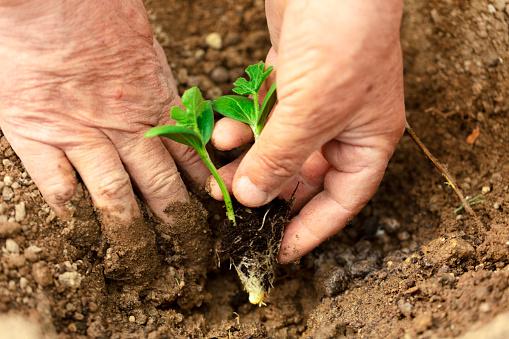 615599804 istock photo Farmer planting seedling in organic garden. 1220661102