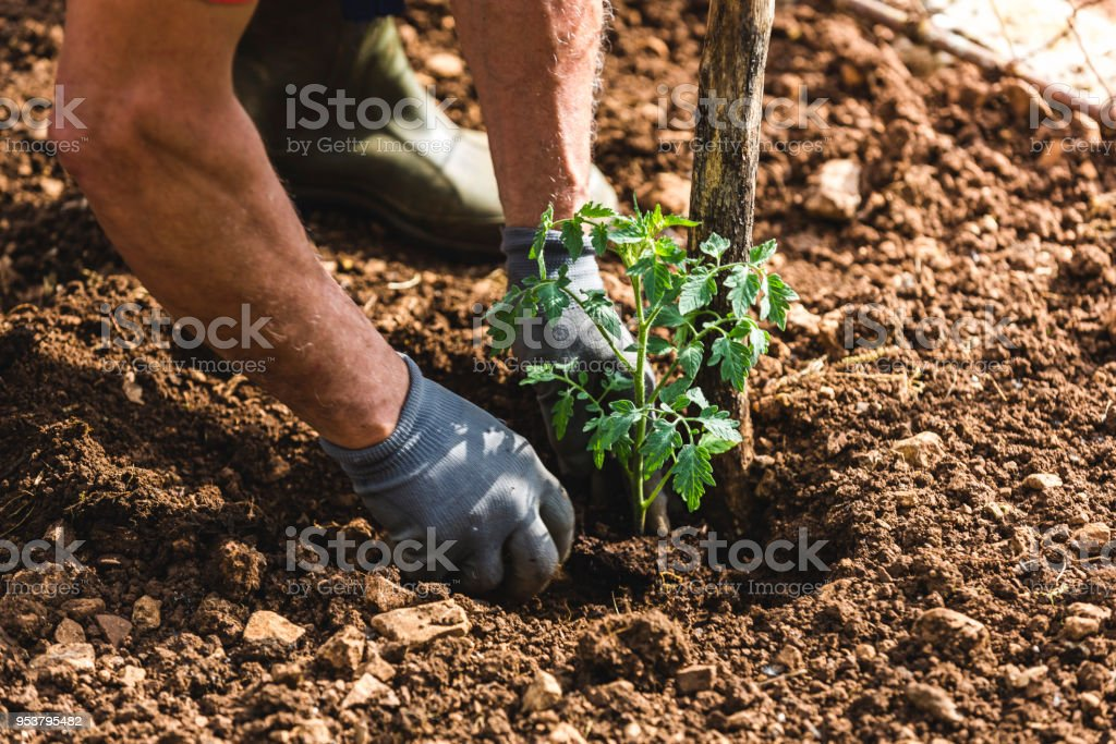 Farmer planting tomatoes in the garden stock photo