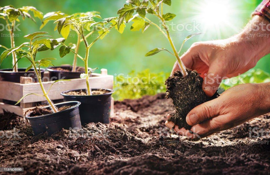 유기농 정원에서 토마토 묘 목 재배 농부 - 로열티 프리 녹색 스톡 사진