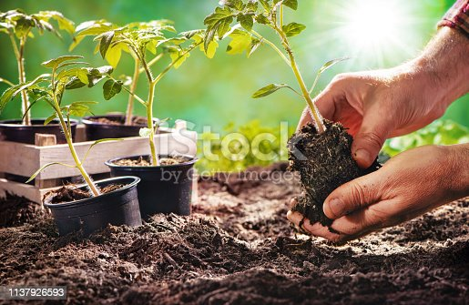Farmer planting tomatoes seedling in organic garden. Gardening young plant into bed