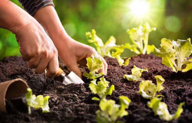 Farmer planting young seedlings of lettuce salad stock photo